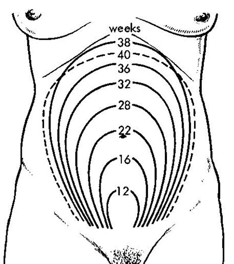 pregnancy diagram where is uterus located 15 16 weeks 16 weeks pregnancy