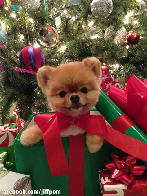 boo the dog christmas 17 best images about jiffpom on cutest dogs instagram and puppys