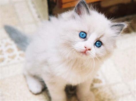 makanan kucing anggora  ahli kucing  cepat gemuk