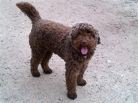 mini labradoodles uk miniature labradoodle stud low hip score eye clear