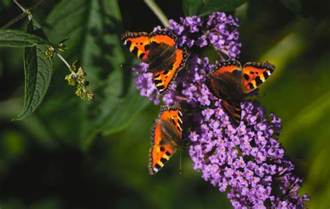 butterfly bushes 3 reasons to never plant a butterfly bush rodale s organic living