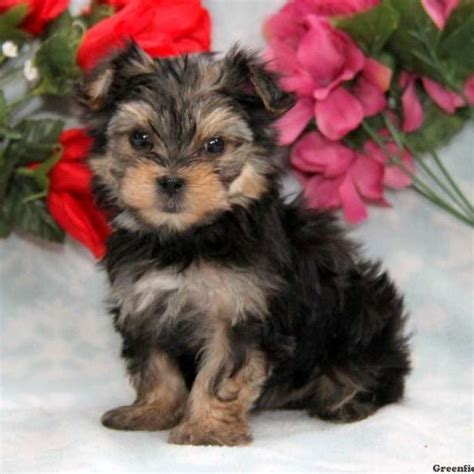 morkie puppies for sale indiana morkie yorktese puppies for sale in pa greenfield puppies motorcycle review and