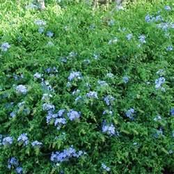 plante 224 fleurs bleues liste ooreka