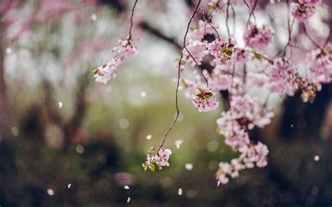 cherry blossom tree facts trees cherry flowers blossom spring petals wallpaper