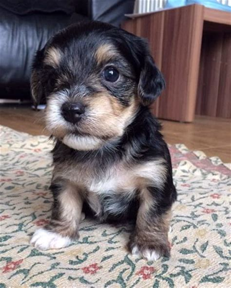 beagle yorkie mix borkie beagle x yorkie mix information temperament puppies pictures