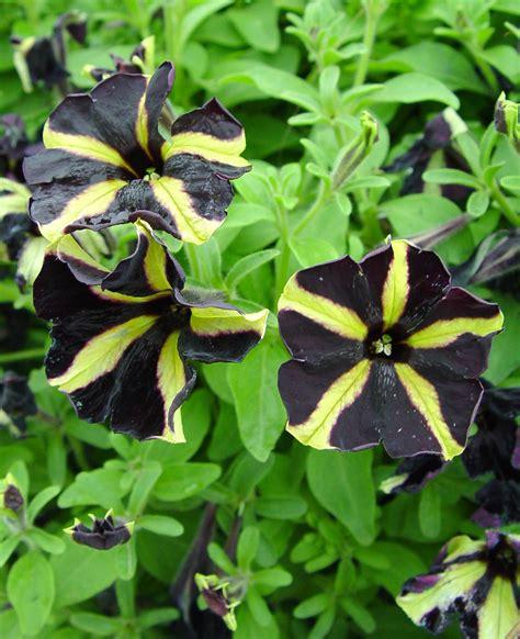 are you ready for a black petunia garden housecalls