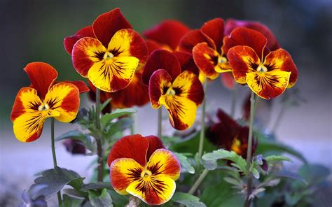 beautiful hd pansy flower wallpapers