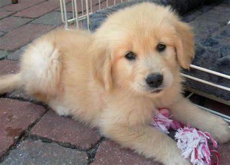 fluffy golden retriever fluffy puppy golden retriever puppies