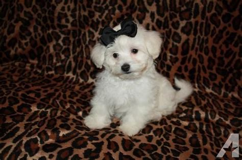 maltipoo puppies for sale in oklahoma maltipoo puppies maltese poodle mix for sale in atoka oklahoma classified