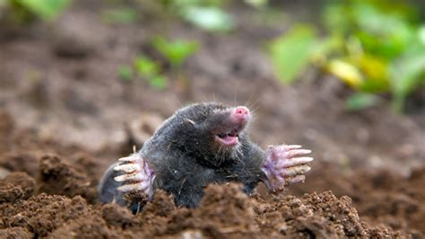 moles in yard