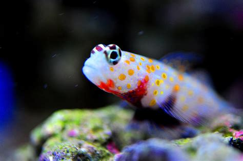 orange spotted shrimp goby photograph by puzzles shum