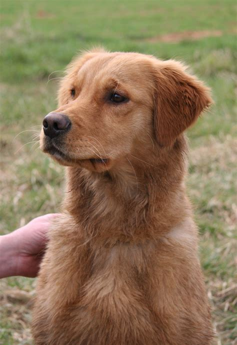 working golden retriever breeders all about fern hill golden retrievers beautiful top