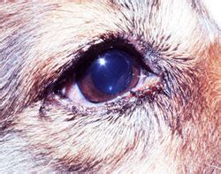 eye diseases in dogs eye problems in dogs gopetsamerica
