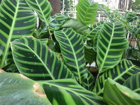 Calathea Zebrina calathea zebrina is endemic to brazil its striking leaf