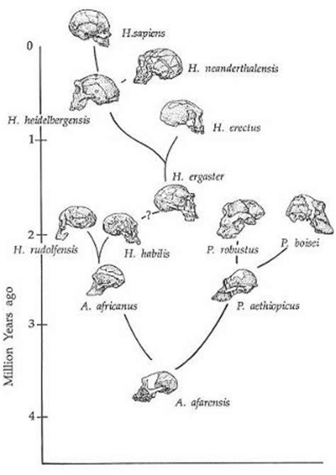 Homo Sapiens: Meaning & Evolutionary History | Study.com