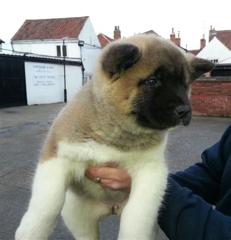 akita puppies colorado akita puppies for sale newark nottinghamshire pets4homes