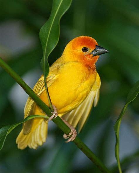 Golden Bird golden palm weaver animals