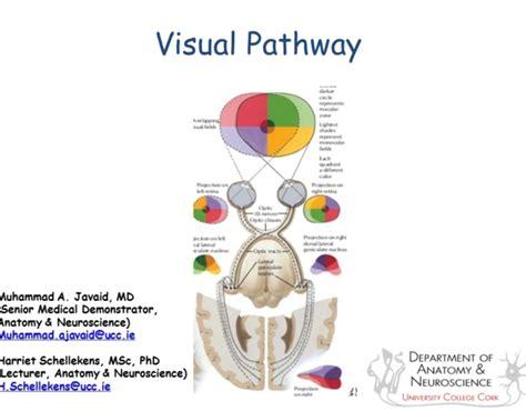 visual cortex diagram visual system diagram wiring diagram