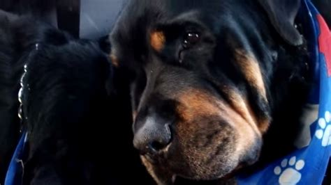 dead rottweiler owner claims rottweiler shows as he mourns dead itv news