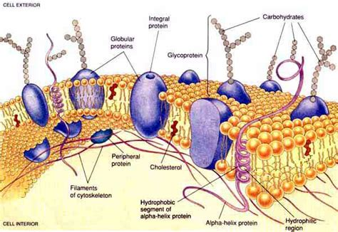 cross section cell membrane photographic album identifcation