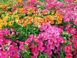 7 great annual winter flowers bayer advanced