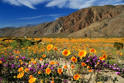 anza borrego super bloom great places to see southern california in bloom this