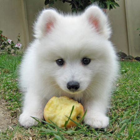 japanese puppy yuki the japanese spitz puppies daily puppy