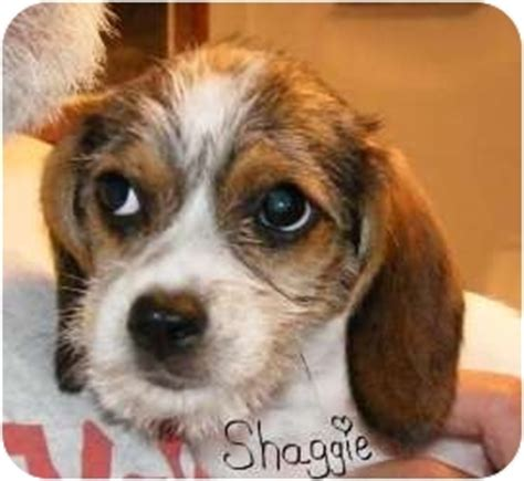 beagle and shih tzu shih tzu beagle mix temperament breeds picture