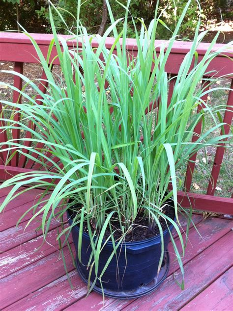 Lemon Grass In Planters by Garden Casual 187 Lemongrass The Lemony Child Of The