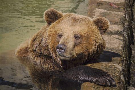 Batu Alam Gambar Beruang gambar alam hewan margasatwa liar kebun binatang binatang menyusui predator fauna