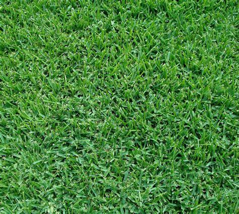 St Grass Fort Worth Grass Palmetto St Augustinegrass