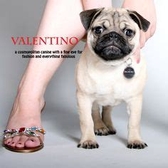 valentino and his pugs 1000 images about puppy wish list on poodles pug and white pomeranian