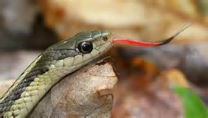 Garter Snake Tongue How Snakes Smell Naturally Curious With