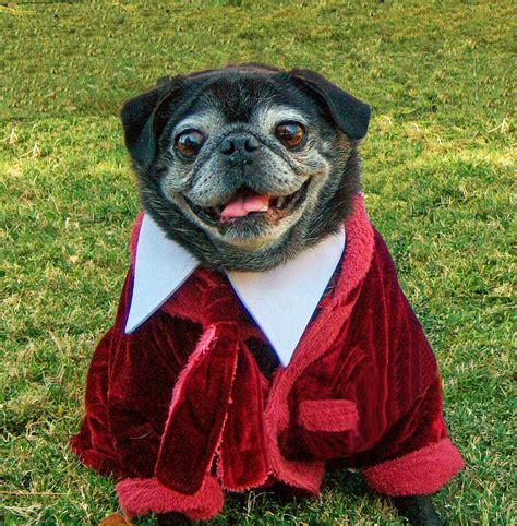 pug rescue san diego pug rescue of san diego county s annual san diego pug club san