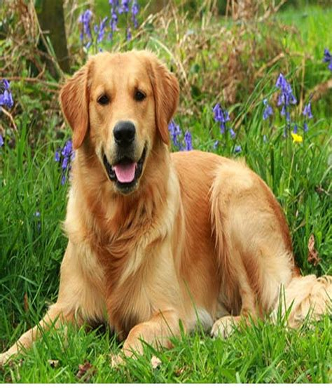 yellow golden retriever golden retriever golden retrievers and yellow labs