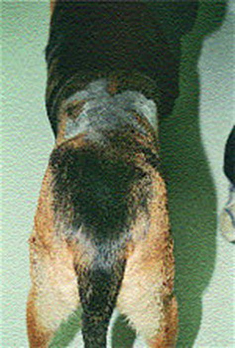 pattern hair loss in dogs alopecia