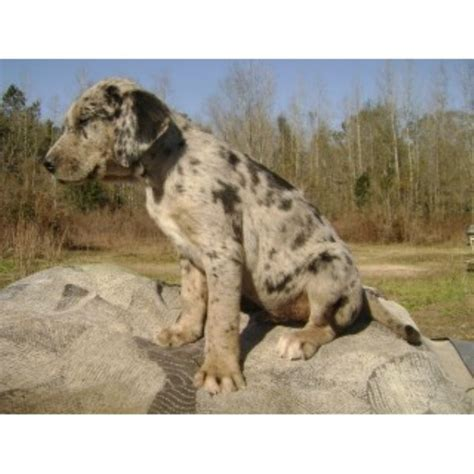 pug puppies for sale in charleston sc louisiana catahoula leopard breeders in south carolina freedoglistings