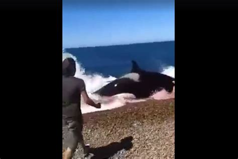 killer whale rescue attempts to rescue seal from hungry killer