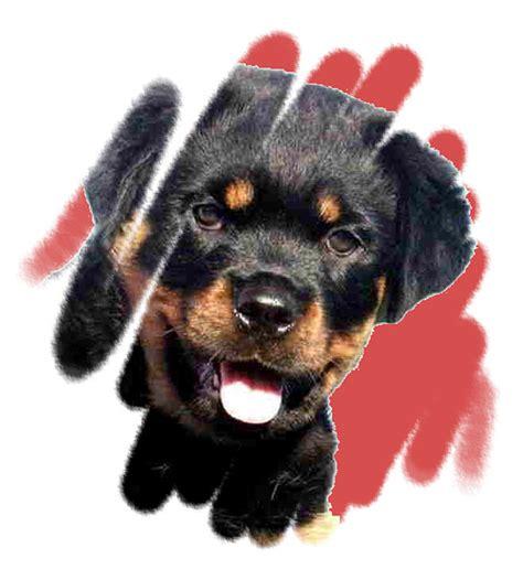 rottweiler breeders nz www rottweiler co nz