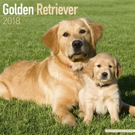 golden retriever golden retriever calendar 2018 10041 18 golden retriever