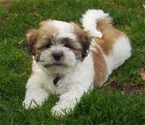 zuchon puppies zuchon shichon breed pictures 1