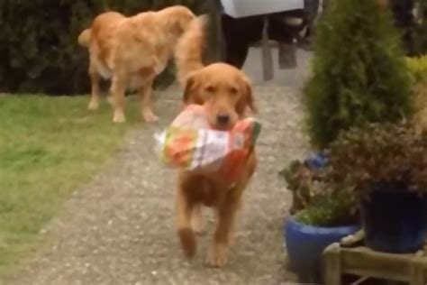 do golden retrievers any predators world s most helpful dogs nothing more than helping their owner take the shopping