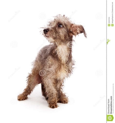scruffy breeds scruffy rescue stock images image 34045164