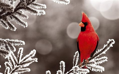wild life cardinal wallpaper wild birds