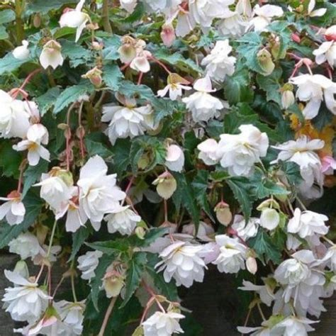 Begonia Basket 1 begonia f1 illumination white hanging basket type 20 seeds