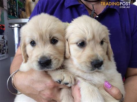 golden retrievers brisbane golden retriever puppies at puppy shack brisbane o7 33566319 for sale in brisbane qld