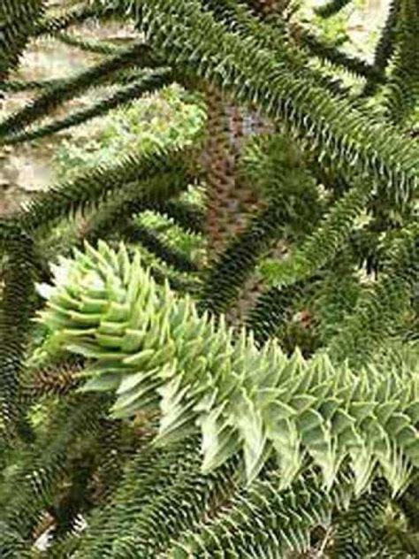 chilenische schmucktanne preis araucaria araucana chilenische schmucktanne araukarie