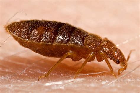 Pictures Of Bed Bug by Bed Bugs It S War The Social Silo