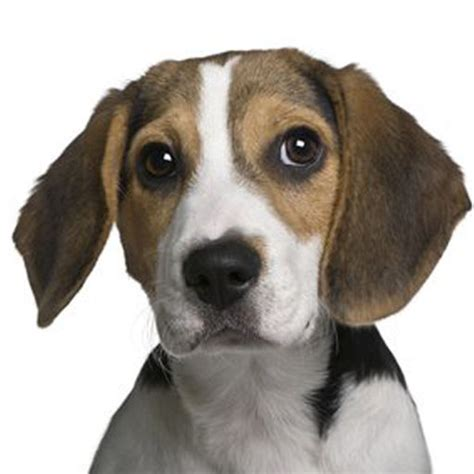 beagle puppy barking beagle sounds barking by guidehunting l l c