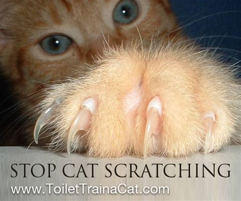 How Do I Stop Cat From Scratching The by How To Stop Cat Scratching Toilet A Cat More